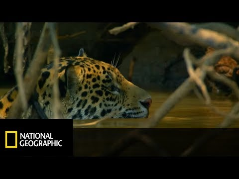 Mrożąca krew w żyłach walka jaguara z kajmanem. Kto przetrwa, a kto zostanie posiłkiem?