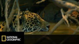 Piękne zdjęcia walki jaguara z kajmanem, kto będzie posiłkiem ?