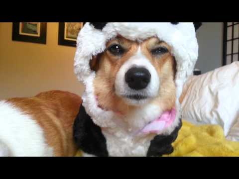 Hund iklädd pandakostym