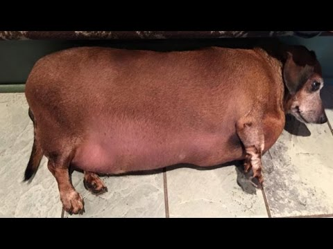 After Years of Eating Fast Food, Rescued Obese Daschund is Losing Weight