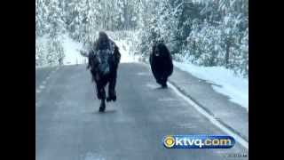 Video Wild Photos Capture Grizzly Chasing Bison in Yellowstone National Park - BEAR VS BISON MP3, 3GP, MP4, WEBM, AVI, FLV September 2017