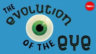 The evolution of the human eye (TED-Ed)