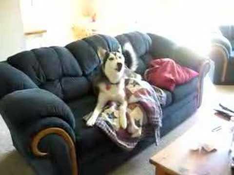 愛看電視的狗狗…不理主人呼叫還頂嘴!
