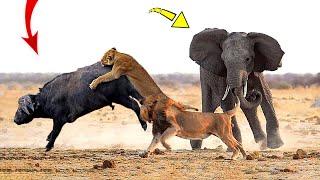 Video Hero Elephant save Buffalo in despair between King Lions hungry MP3, 3GP, MP4, WEBM, AVI, FLV November 2018