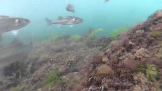 Towyn United Kingdom  City pictures : Sea Bass Fishing with Underwater Camera Footage - North Wales, UK - July 2013
