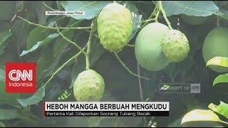 Video Heboh Mangga Berbuah Mengkudu MP3, 3GP, MP4, WEBM, AVI, FLV November 2017