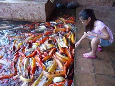 Friday smorgasbord tank cleaning octopus way too many for Indoor koi fish tank