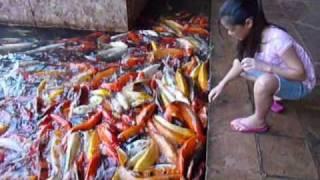 Video Koi fish feeding in Kauai MP3, 3GP, MP4, WEBM, AVI, FLV Juni 2017