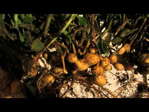 Как вырастить арахис