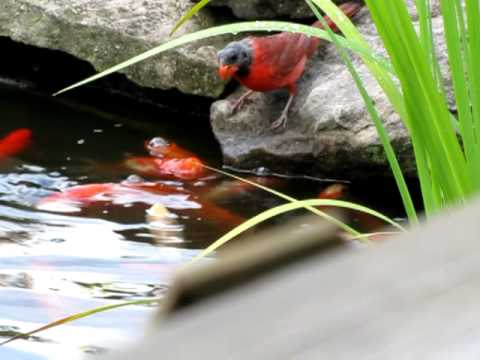 Black Headed Cardinal Feeds Goldfish