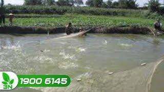 Thủy sản | Khắc phục ao nuôi cá bị ô nhiễm