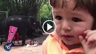 Video Jedar 'Dipijit' Gajah, El Ketakutan - Cumicam 27 Maret 2017 MP3, 3GP, MP4, WEBM, AVI, FLV Desember 2017
