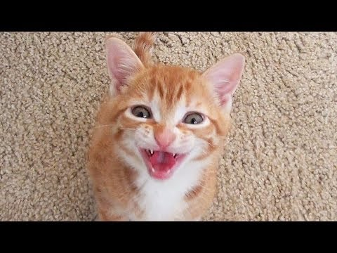 Smart Kitten Talks To Owner!