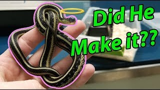Nick the Garter Snake Gets Eye Surgery by Snake Discovery