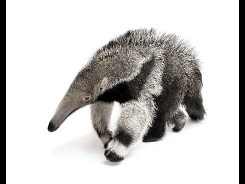 Male Giant Anteater Born at Santa Barbara Zoo