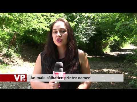 Mistreții fac prăpăd la Bănești