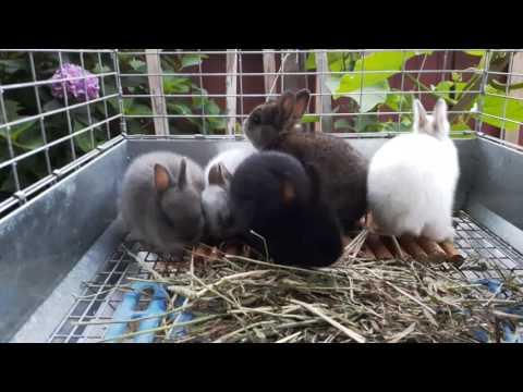 4 week old Netherland Dwarf Rabbits