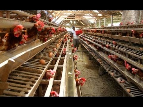 Tips Mudah Ternak Ayam Petelur Bagi Pemula – Go-AgriFarm