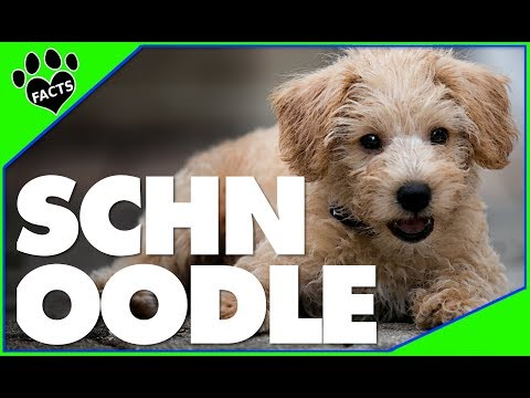 Designer Dogs 101: Schnoodle Dogs 10 Facts About Schnoodles Popular Designer Breeds - Animal Facts