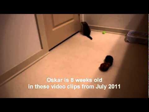 gattino cieco gioca con la pallina, che tenerezza!