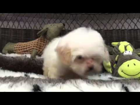 Absolutely Adorable, Baby Girl Shih-Poo!!