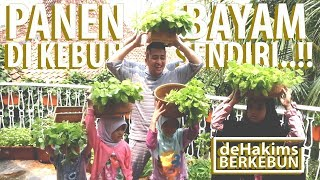 Video Panen Bayam di Kebun Sendiri..!! - deHakims Berkebun MP3, 3GP, MP4, WEBM, AVI, FLV April 2019
