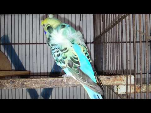 Double Breeding Tips of Hagoromo Parrot