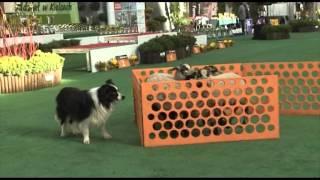 Psy pasterskie – wystawa