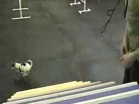 A Chihuahua Dog Gets Agility Training
