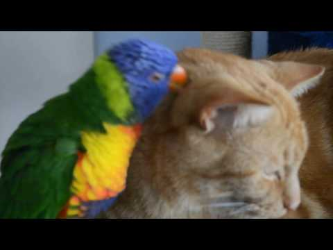 Whyalla's most amorous Rainbow Lorikeet and Ginger cat funny