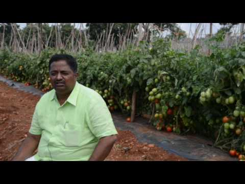 Interview by Shri.M.Babu Reddy, Farmer during Field day on Tomato F1 hybrid Arka Rakshak""