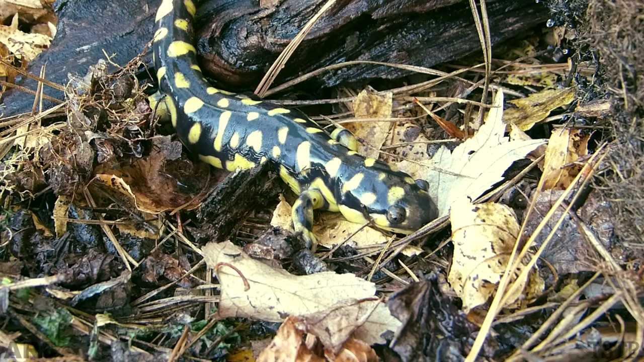 ARC S1E5, Colorful Salamanders: Our Hidden Biodiversity