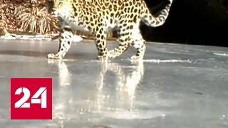 Шанс на выживание: у спасенной самки леопарда появились два детеныша