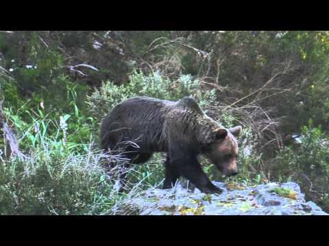 Wieder Toter Bär in Nordspanien