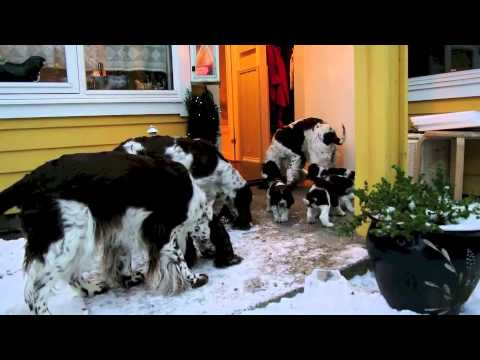 English Springer Spaniel puppies litter-I video 6