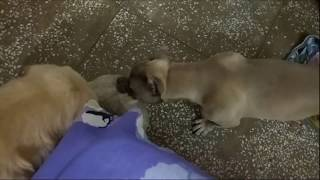 American Bully and Labrador Playing with Teddy Bear