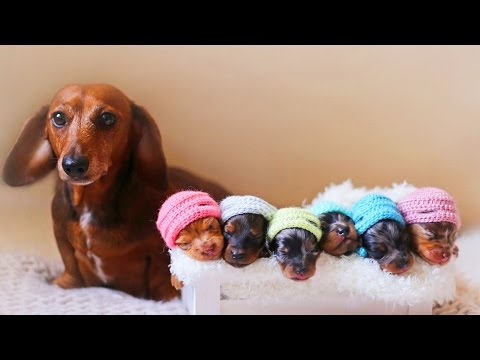 Dachshund Dog Breeds Giving Birth To Many Cute Puppies
