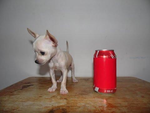 Chihuahua Hembra Blanca en Venta – Bolsillo, Teacup, Tacita, Mini Toy