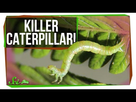 Meet the World's Most Terrifying Caterpillar