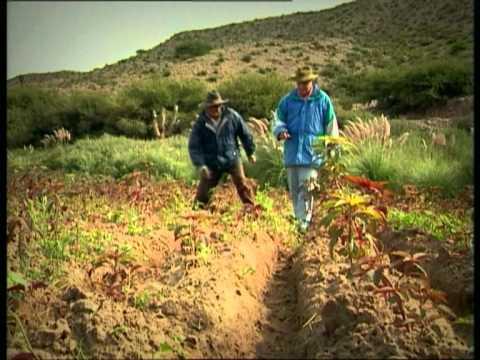 Documental: Quinua y Kiwicha, Cultivos con historia (Amaranto)