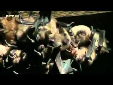 Wild Life Animaux Documentaire :CHAUVE SOURIS   le monde à l envers !