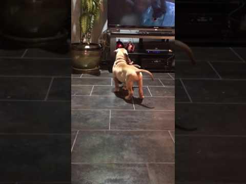 Luna watching tv and prancing around