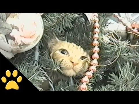 compilation - in this funny cat compilation, come celebrate the holidays with us with our hilarious video of cats in christmas trees!
