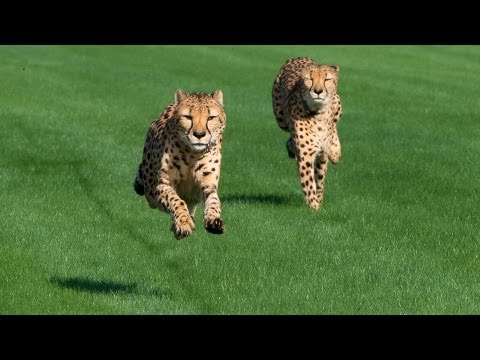 Cheetahs - The Houston Zoo cheetahs enjoy stretching their legs out while running at the Sam Houston Race Park. Running is a natural behavior for cheetahs in the wild, ...