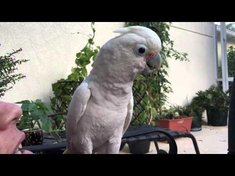 Goffin Cockatoo named Leroy Jenkins singing to Rocket Man