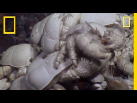 scoperta nuova specie di granchio in antartide