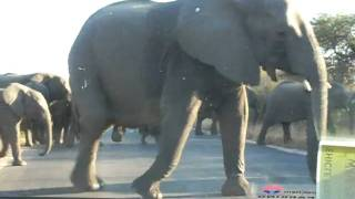 Skukuza South Africa  City new picture : Elephants near Skukuza Kruger National Park South Africa