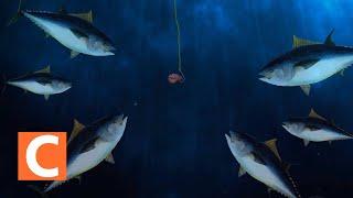 Video 적도 바다에서의 참치잡이 (Fishing for tuna in the equatorial sea) MP3, 3GP, MP4, WEBM, AVI, FLV Januari 2019