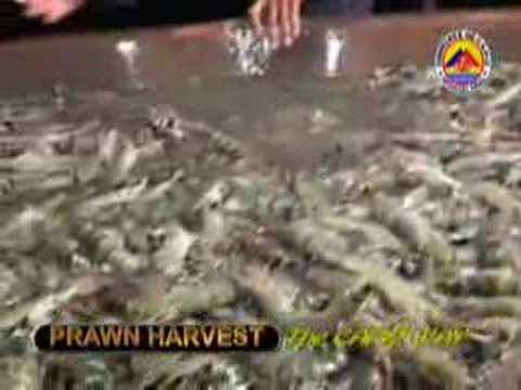 "PRAWN HARVEST ""The Capiz Way"""