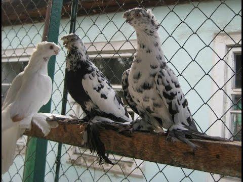 Разведение породистых  голубей.Отличное хобби! (видео)